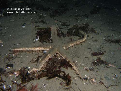 Spiny Mud Star