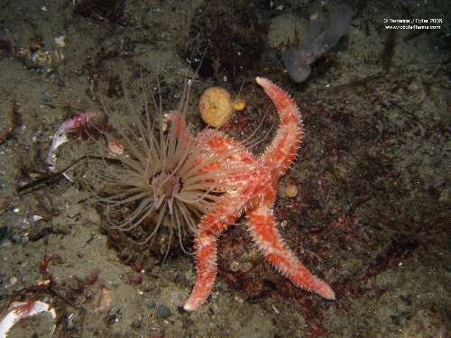 Painted Star and Tube Dwelling Anemone