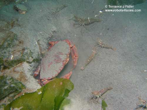 Red Rock Crab and Coonstriped Shrimp