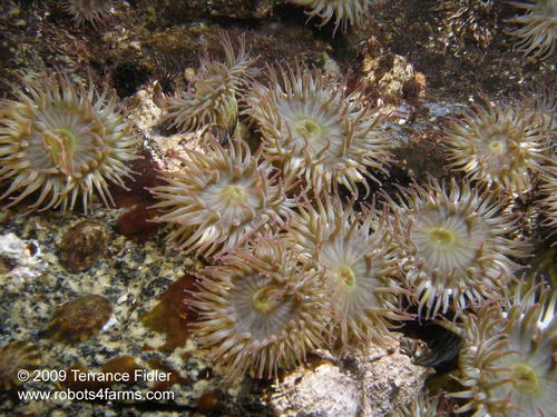 Pink Tipped Anemones