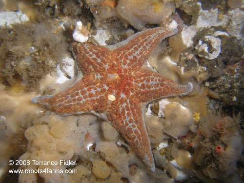 Leather Star with a Moss Crab on its leg