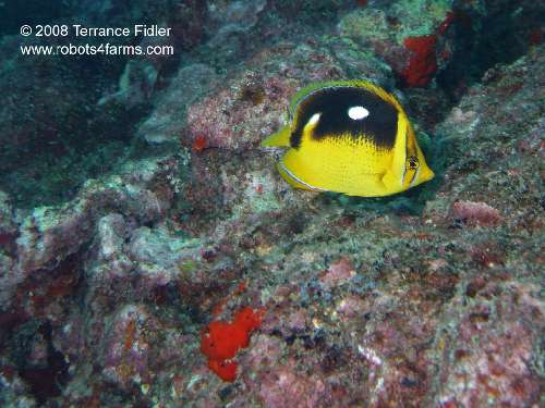 Four Spot Butterfly Fish