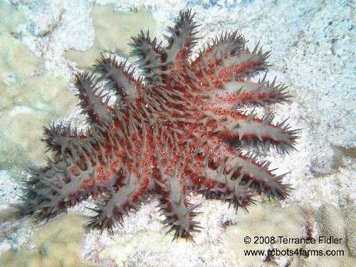 Crown-Of-Thorns Star
