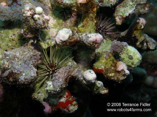 Urchins on dead coral