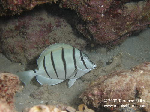 Convict Tang - a fish
