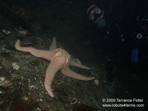 Spiny Pink starfish and a scuba diver